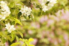Предпосылка на бутонах белых цветков дерева красивых Стоковая Фотография RF
