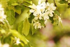 Предпосылка на бутонах белых цветков дерева красивых Стоковое Изображение