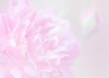 Предпосылка нерезкости розового пинка Стоковые Изображения