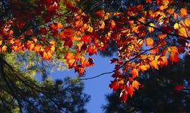 Предпосылка осени ветвей и листьев яркого красного цвета Стоковые Фото