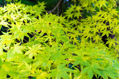 предпосылка осени выходит сделанный объективом экстренныйый выпуск изображения клена Желтая текстура листвы Стоковые Фотографии RF