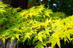 предпосылка осени выходит сделанный объективом экстренныйый выпуск изображения клена Желтая текстура листвы Стоковое Изображение