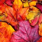 предпосылка осени выходит сделанный объективом экстренныйый выпуск изображения клена Красивое красочное leav клена Стоковое фото RF