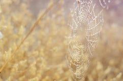предпосылка осени золотистая Сеть и улитки паука в падениях росы под утром греют на солнце лучи Сезонный фон для вашего Стоковое Фото