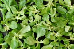 Предпосылка от зеленого салата ½ s ¿ lambï Стоковое фото RF
