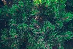 Предпосылка от зеленой ветви ели Стоковое фото RF
