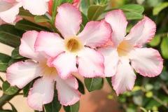Предпосылка от розового цветка Стоковая Фотография