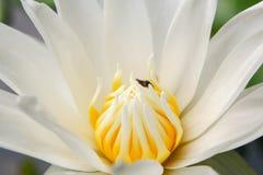 Предпосылка от цветка лотоса Стоковые Изображения RF