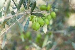 Предпосылка оливок, селективный фокус Оливки на оливковом дереве с b Стоковая Фотография