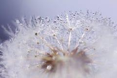 Предпосылка одуванчика с пузырями воды Стоковые Изображения RF