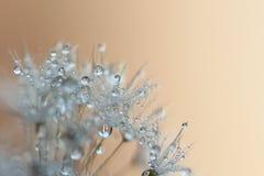 Предпосылка одуванчика с пузырями воды Стоковое Фото