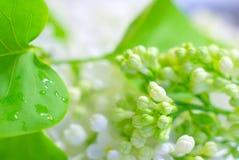 Предпосылка падения дождя белого цветка романтичная Стоковые Изображения