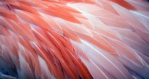Предпосылка пера фламинго Стоковое Изображение RF