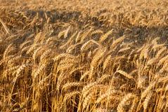 Предпосылка поля зерна пшеницы Стоковое фото RF