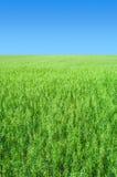 Предпосылка поля овса Стоковое Фото