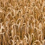 Copyspace текстуры поля пшеницы Стоковые Фотографии RF