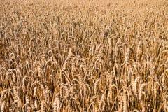 Текстура пшеницы Стоковое фото RF