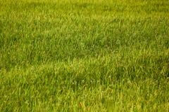 Предпосылка поля риса Стоковая Фотография