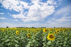 Предпосылка поля солнцецвета под голубым небом Стоковая Фотография RF