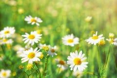 Предпосылка поля цветков стоцвета широкая в свете солнца Стоковое Изображение RF