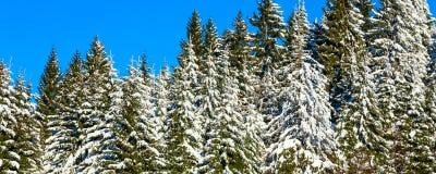 Предпосылка праздника рождества зимы с снежными соснами и голубым небом Стоковое Изображение RF