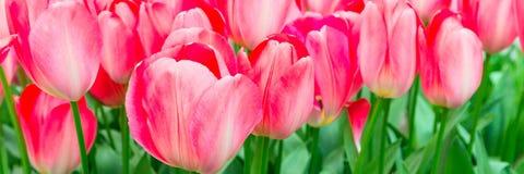 Предпосылка праздника тюльпанов пинка крупного плана знамени панорамная Стоковое Изображение RF