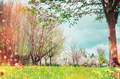 Предпосылка природы весны с цветением дерева, внешним Стоковые Изображения RF