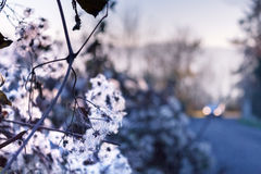 Предпосылка природы запачканная синью с белыми цветенями Стоковые Фото