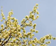 Предпосылка природы красивой вишни цветет весной стоковые фото