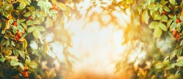 Предпосылка природы осени или лета с листвой собак-Розы на свете захода солнца Стоковые Изображения RF