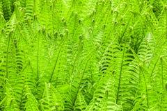 Предпосылка природы папоротника свежая зеленая Стоковые Изображения