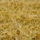 Предпосылка пшеницы золота Стоковое Фото