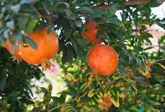 Предпосылка плодоовощ природы лета Стоковая Фотография RF