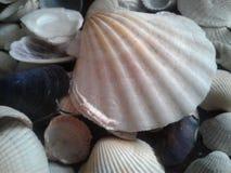 предпосылка раковина много seashells малая Стоковые Фотографии RF
