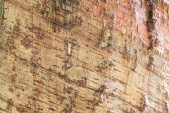 Предпосылка резинового дерева и текстурированный Стоковые Фотографии RF