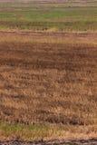 Предпосылка риса Брайна в Таиланде. Стоковые Фотографии RF