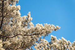 Предпосылка рождества снежного леса, замороженное дерево покрывает на небе Стоковое фото RF