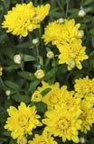Предпосылка сада желтых мам флористическая Стоковое Фото