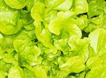 Предпосылка свежего зеленого салата Стоковые Изображения