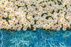 предпосылка свежих белых хризантем и травы Стоковые Фото