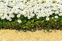 предпосылка свежих белых хризантем и травы Стоковые Изображения
