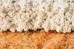 предпосылка свежих белых хризантем и травы Стоковое Фото
