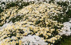 предпосылка свежих белых хризантем и травы Стоковое Изображение
