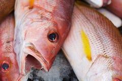 Предпосылка свежих красных басовых рыб Стоковая Фотография RF