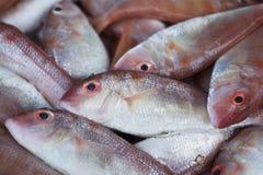 Предпосылка свежих красных басовых рыб Стоковые Фотографии RF