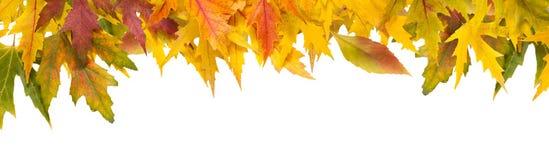Предпосылка сезона падения, желтые кленовые листы Стоковое Изображение RF