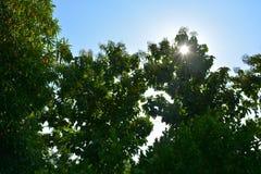 Предпосылка сине-неба grandis Tectona и сияющее солнце Стоковая Фотография RF