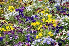 Предпосылка смешанных pansies цветет в саде Стоковое Фото