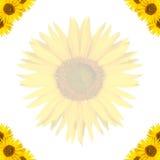 Предпосылка солнцецвета Стоковое Изображение RF