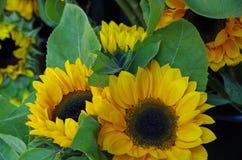 Предпосылка солнцецветов Стоковые Фотографии RF